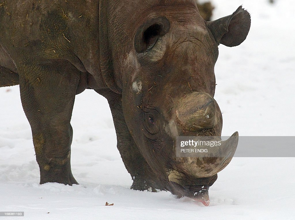 A rhinoceros tastes some snow in its enclosure at the zoo in Leipzig, eastern Germany, on December 14, 2012.