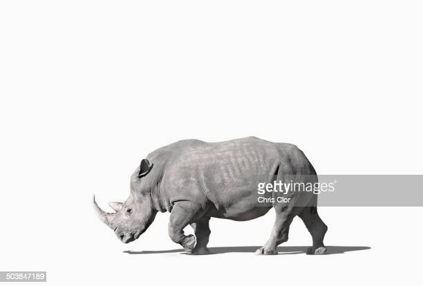 Rhinoceros walking in studio