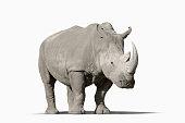 Rhinoceros walking in studio