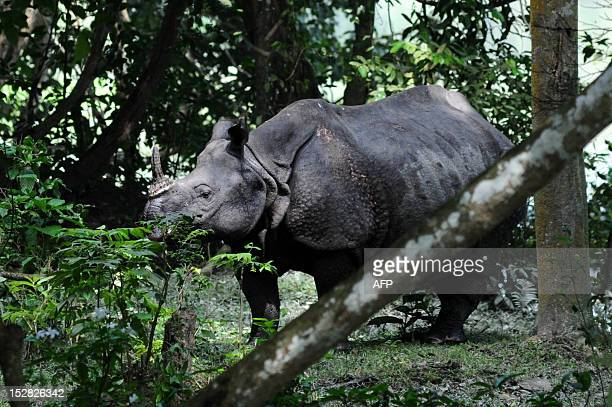 A rhinoceros walks in search of food on a highland at Kaziranga National Park some 250km east of Guwahati the capital city the northeastern state of...