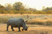A rhinoceros walks on July 20 2010 in the Edeni Game Reserve South Africa Edeni is a 21000 acre wilderness area with an abundance of game and...
