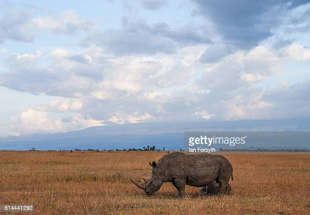 Rhinoceros walks the open plains of the Ol Pejeta Conservancy on February 25 2016 in Nanyuki Kenya The east African country covers around 580000...