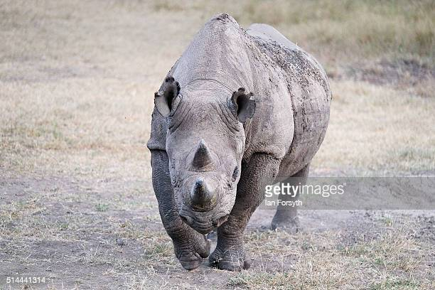 A rhinoceros walks through the Ol Pejeta Conservancy on February 25 2016 in Nanyuki Kenya The east African country covers around 580000 square...