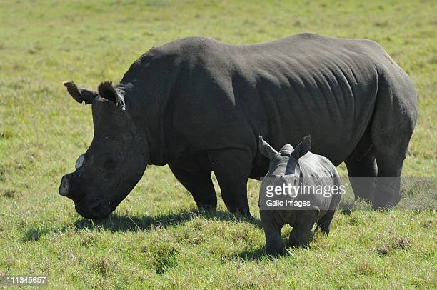 A rhinoceros whose horn has been sawn off grazes with its young at the Kragga Kamma Game Park on March 30 2011 in Port Elizabeth South Africa in an...