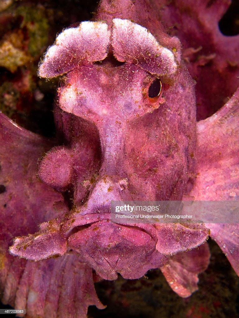 Rhinopias Frondosa : Stock Photo