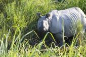 Rhinos are the main attraction in Kaziranga National Park