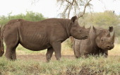Rhinos at a water hold in Mkomazi rhino sanctury on June 19 2012 in Mkomazi Tanzania The Aspinall Foundation along with the Tusk Trust and the George...