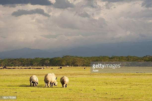 Rhinos near Nakuru Lake, Kenya