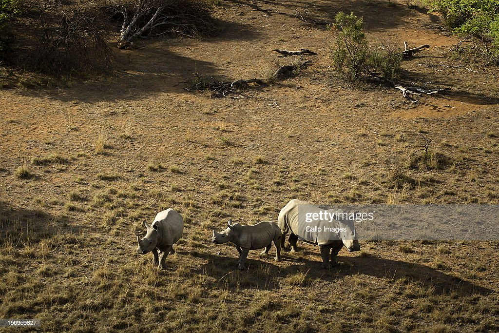 Rhinos on the Finfoot Lake Reserve on November 24, 2012 in North West, South Africa. Eight rhino on the farm were slaughtered by poachers.