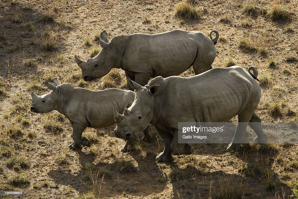 Rhino's on the Finfoot Lake Reserve on November 24, 2012 in North West, South Africa. Eight rhino on the farm were slaughtered by poachers.