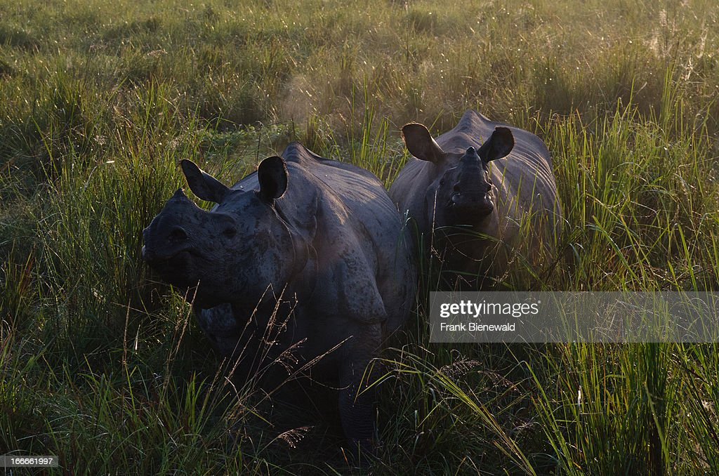 Rhinos spotted and watched by tourists on elephantbacks in KazirangaNP