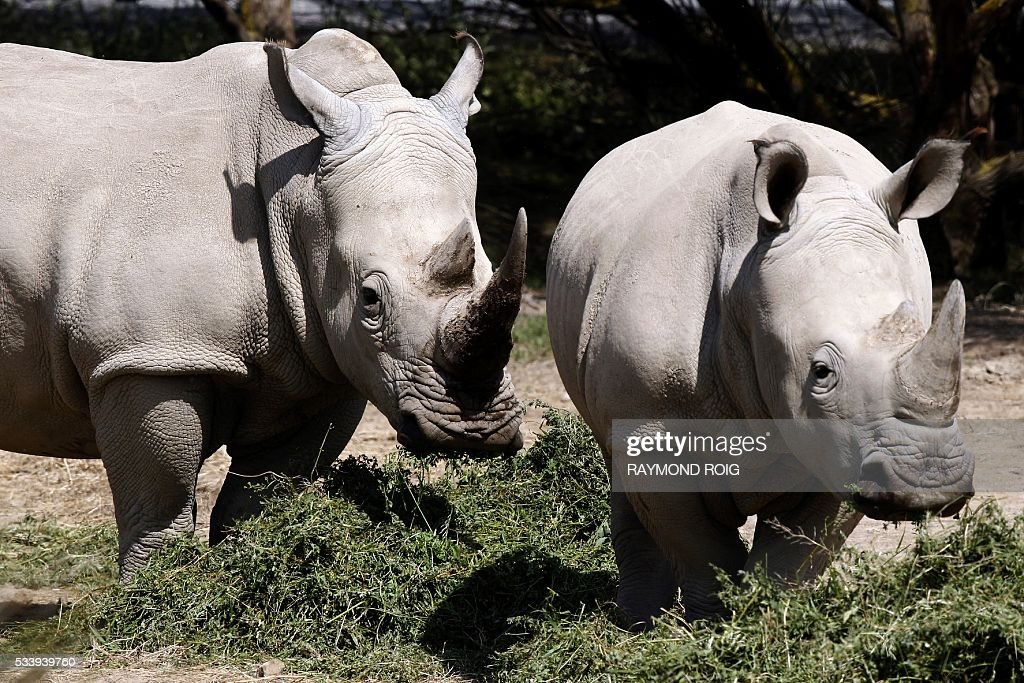 Rhinos wander about at the African Reserve (Réserve Africaine ) wildlife park in Sigean, southern France on May 24, 2016. / AFP / RAYMOND