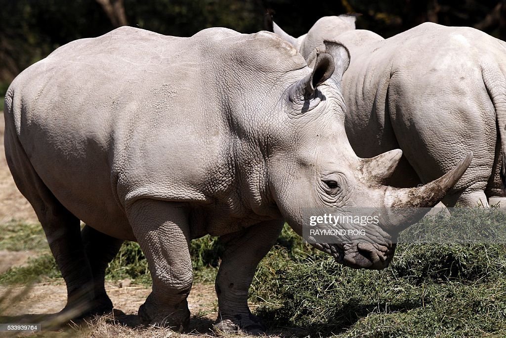 Rhinos wonders about at the African Reserve (Réserve Africaine ) of Sigean, southern France on May 24, 2016. / AFP / RAYMOND