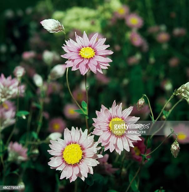 Rhodanthe or Mangles' everlasting Asteraceae