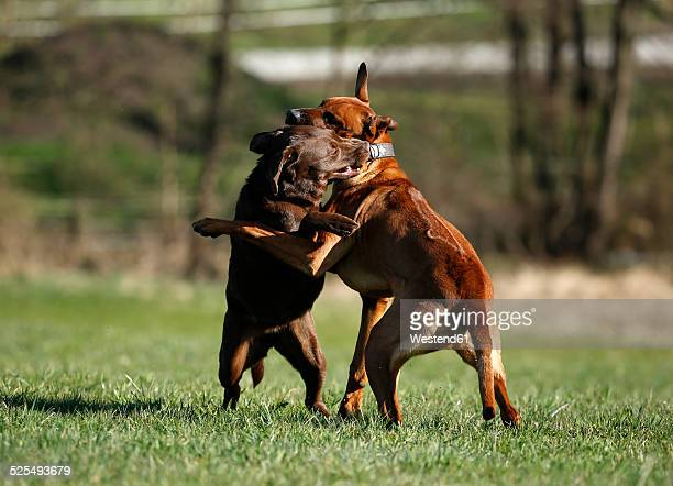 Rhodesian Ridgeback and brown Labrador Retriever, Canis lupus familiaris, playfighting on a meadow