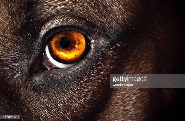Rhodesian Ridgeback eye macro