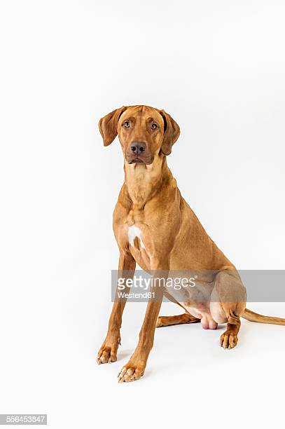 Rhodesian Ridgeback in front of white background
