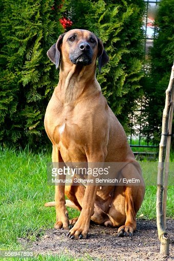 Rhodesian ridgeback stock photos and pictures getty images for Dog day sitting
