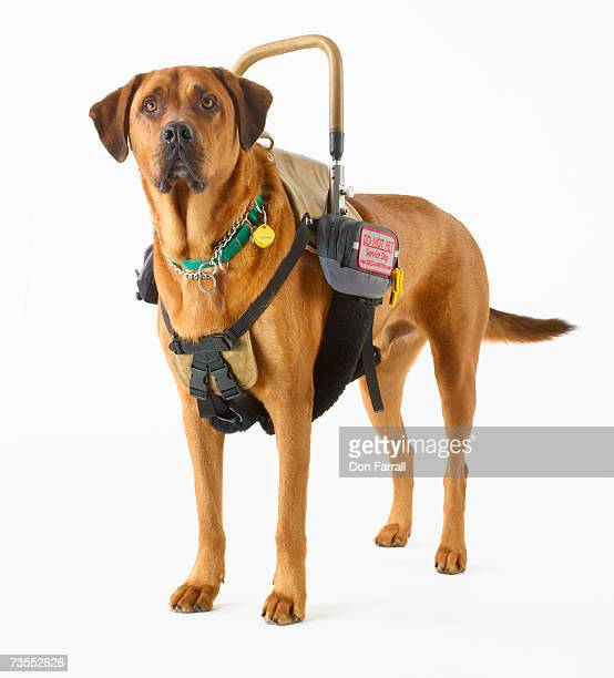 Rhodesian Ridgeback with harness, close-up