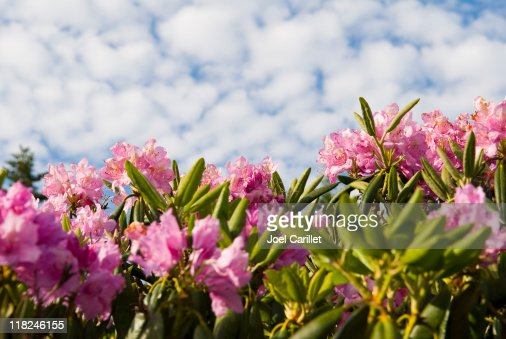 Rhododendron Blossoms on Roan Mountain