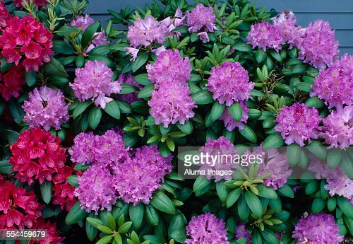 Rhododendron bush in flower