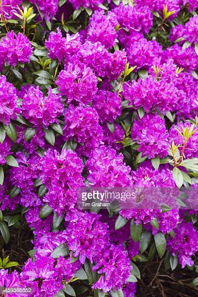 Rhododendron bush Rhododendron ponticum an invasive ornamental species shrub of bright pink colour spreading widely along the West of Scotland