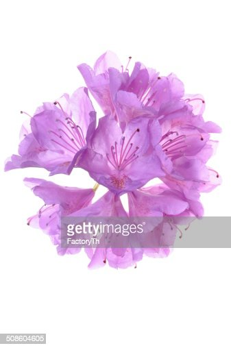 Rhododendron flower : Stock Photo