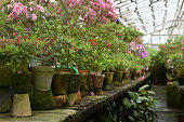 Rhododendron flowers and tropical plants grows in a vintage greenhouse. Fresh green plants in a vintage ceramic pots covered by moss