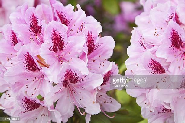 Rododendro flores # 3, XXXL