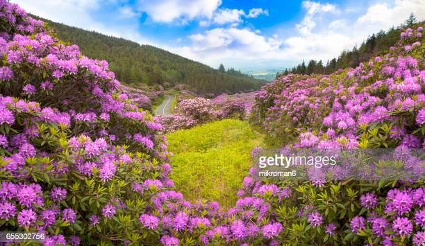 Rhododendron forest valley, Ireland