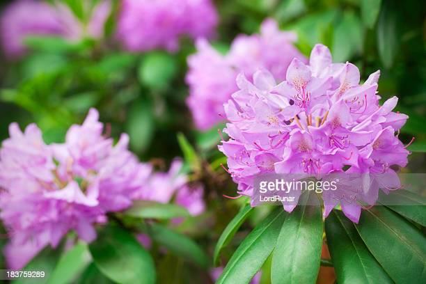 Rododendro en flor