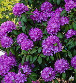 Rhododendron in bloom, spring