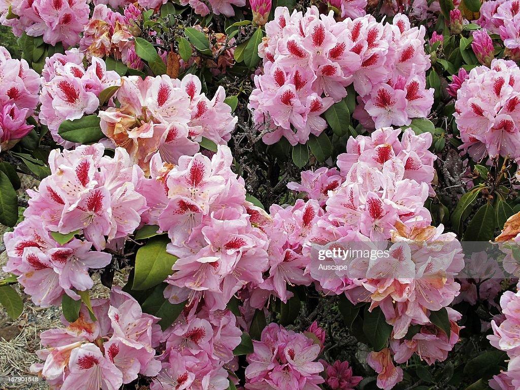 Rhododendron (Rhododendron sp.) showy pink flowers. Emu Valley Rhododendron Gardens, near Burnie, Tasmania, Australia.