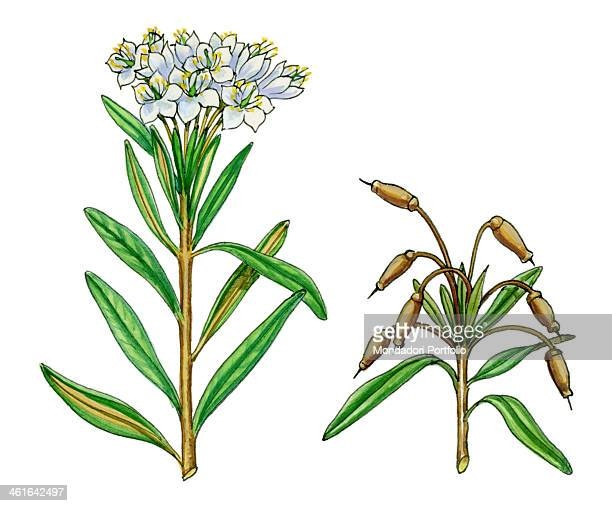 Rhododendron tomentosum also known as Marsh Labrador tea by Giglioli E 20th Century ink and watercolour on paper Whole artwork view Drawing of the...