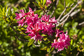 Rhododendron wildflowers