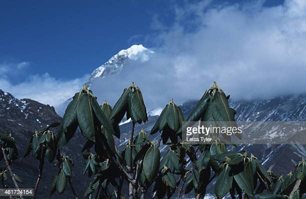 KANCHENDZONGA SIKKIM INDIA Rhododendrum buds on the fiveday trek to Gochela base camp for Mount Kanchendzonga India's highest peak and at 8585 meters...