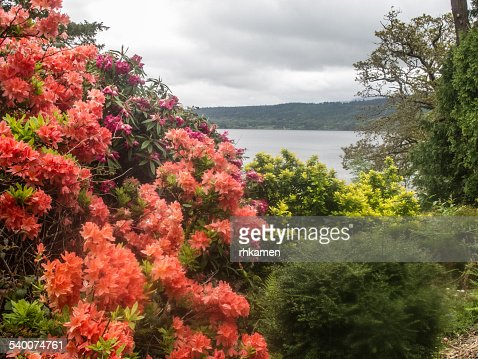 Rhodondendron, Lough Leane, Killarney, Ireland