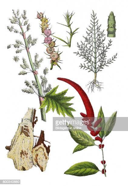 Rhubarb Rheum palmatum Salsola rosacea common glasswort Salicornia herbacea Lunn Amaranthus caudatus