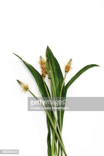 Ribwort (Plantago lanceolata) on white background, elevated view
