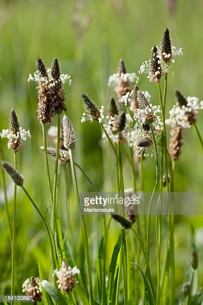 Ribwort Plantain (Plantago lanceolata) in Backlit Light