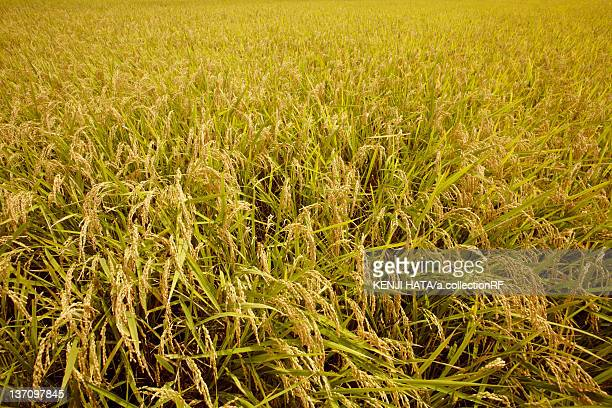 Rice crop, Chiba Prefecture, Honshu, Japan