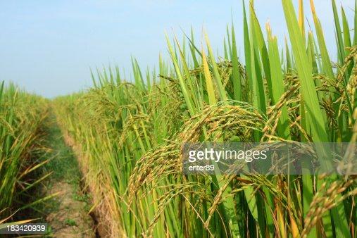 Rice crop in the sunshine