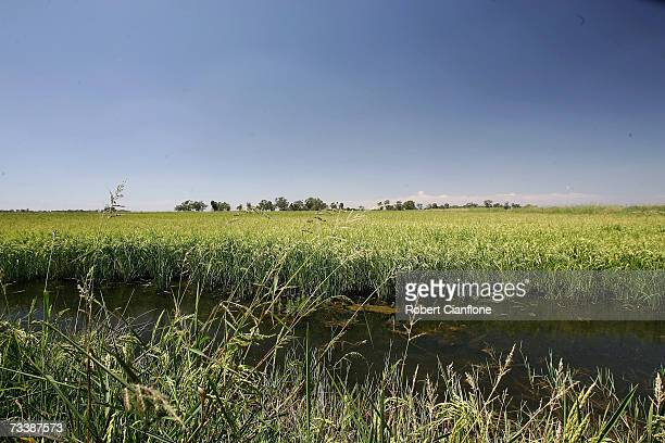 A rice crop is seen on the property of farmer Hunter Lansdale on February 22 2007 in Deniliquin Australia By using bore water Lansdale has been able...