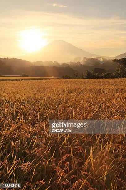 Rice ears and Mount Fuji at sunset, Shizuoka Prefecture