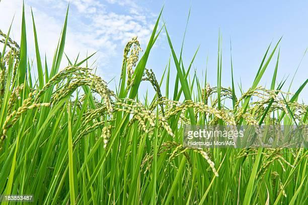 Rice ears