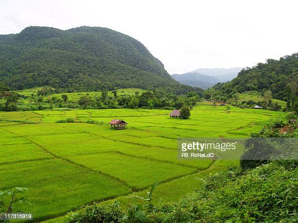 Rice farm and mountains