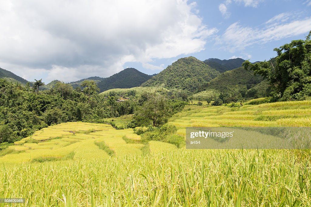 Rice farm on the mountain : Stock Photo