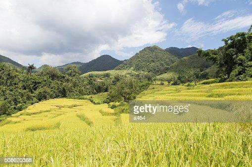 Rice farm on the mountain : Stock Photo