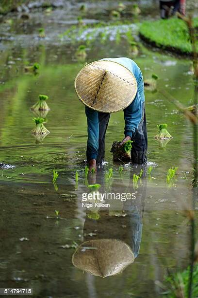 Rice farmer planting rice in Tegalalang, Bali