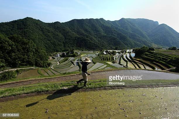 A rice farmer walks through terraced paddy fields in the Nakayama District of Shodo Island Kagawa Prefecture Japan on Saturday May 14 2016 Japan's...